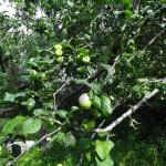 obuolys1