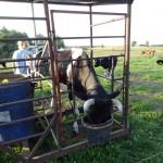Hisz Cow