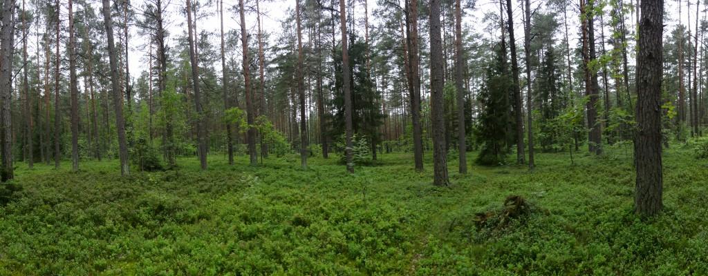 Amazing Vilnius Forest, Bilberry Paradise!