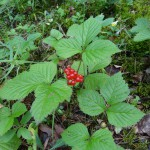 Deadly red berry??