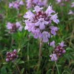 Anti Cough Flower