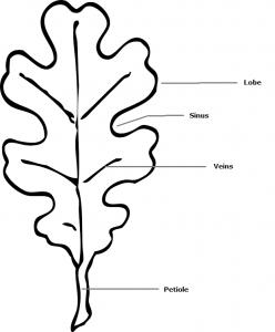 oak-leaf-drawing