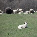 Dat Sheeple
