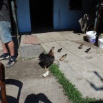 Chicks and Chickens