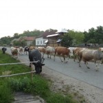 SB cow1