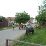 Village road with cows